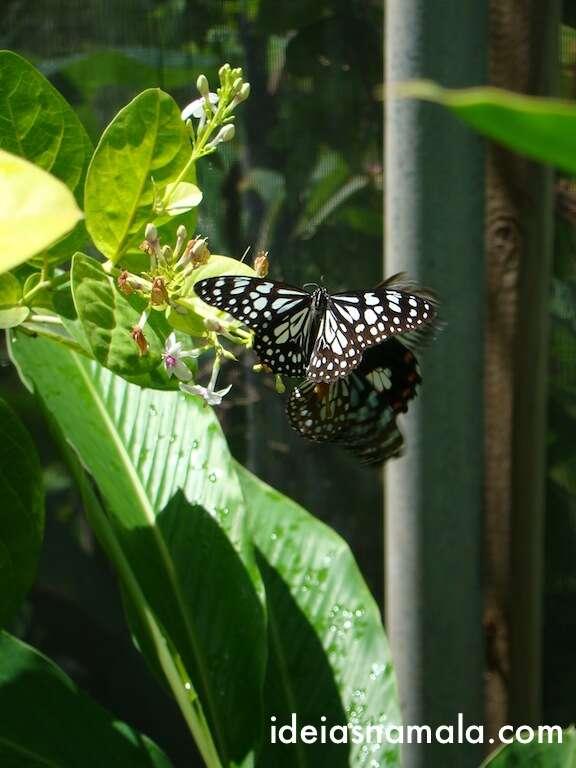Borboleta na Butterfly Farm - St Martin