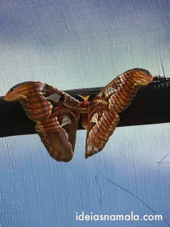 Borbolota gigante - Butterfly Farm