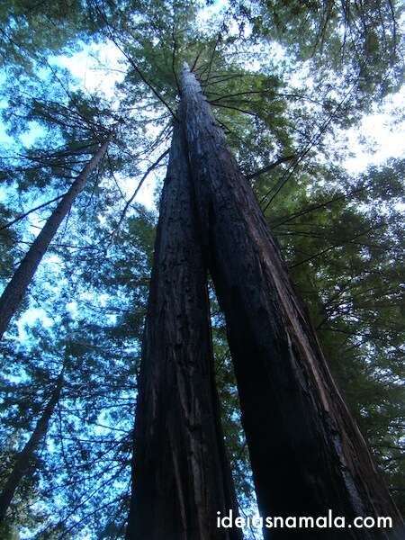 Redwoods Big Basin Park