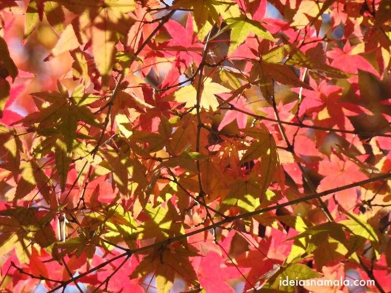 Os diversos tons do outono em uma só arvore - Japão