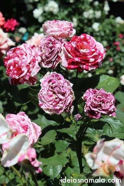 Rosas na V. Sattui