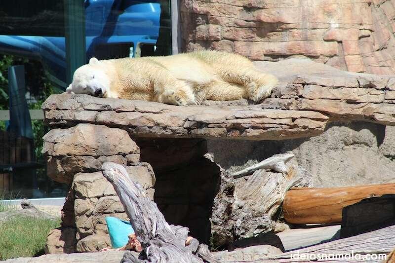 Urso Polar dorminhoco no Zoo de San Diego