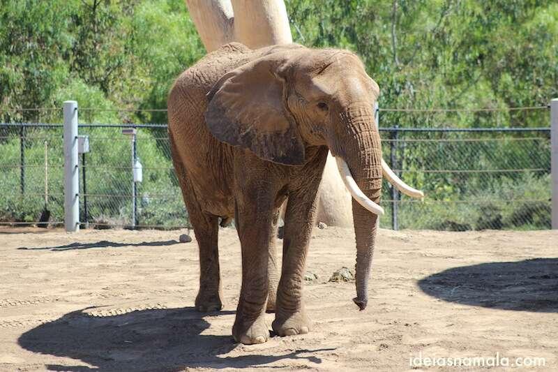 Elefante no Zoo de San Diego