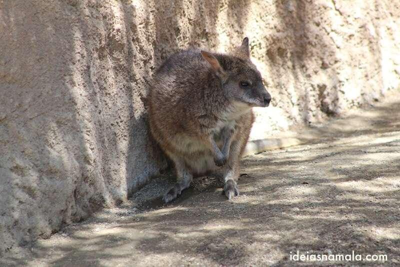 Wallabies - Zoológico de San Diego
