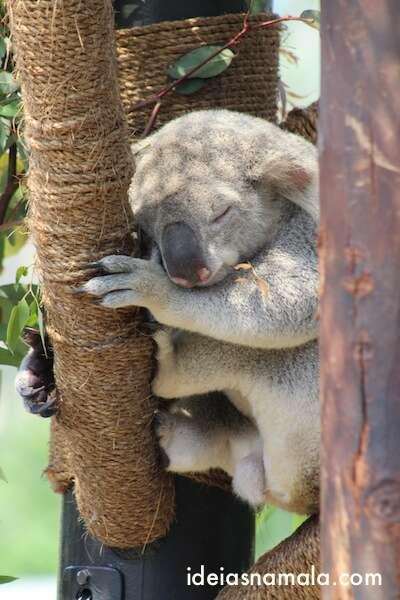 Koala - Zoológico de San Diego