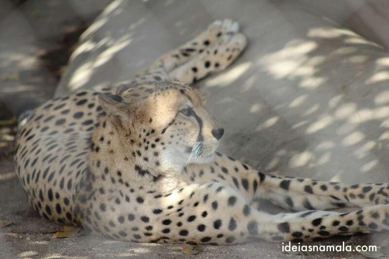 Leopardo - Zoológico de San Diego
