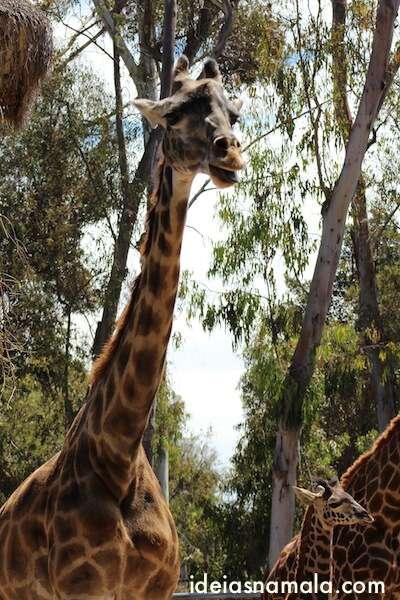 Girafa - Zoológico de San Diego