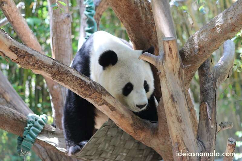 Urso Panda - zoologico de San Diego