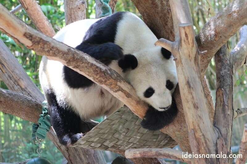 Urso Panda dorminhoco - zoológico de San Diego