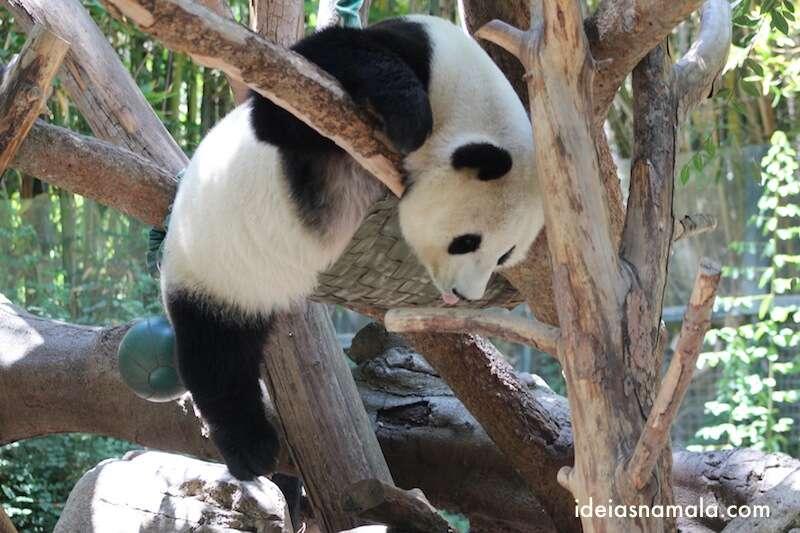 Urso Panda dormindo - zoológico de San Diego