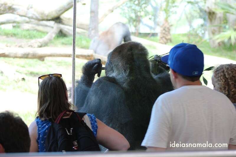 Gorila - zoo de San Diego