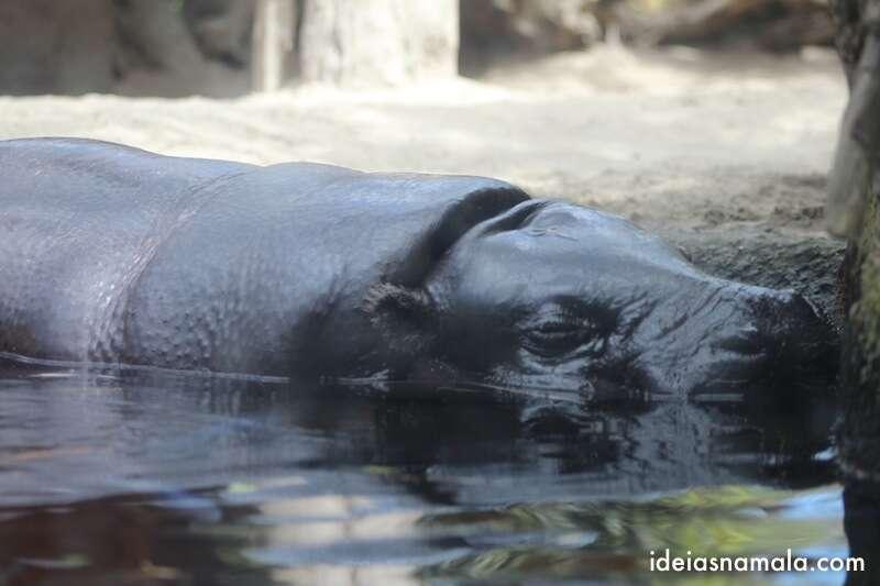 Hipopótamo - zoo de San Diego