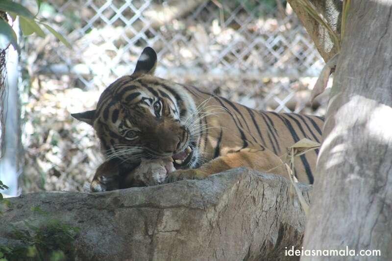 Tigre - zoo de San Diego