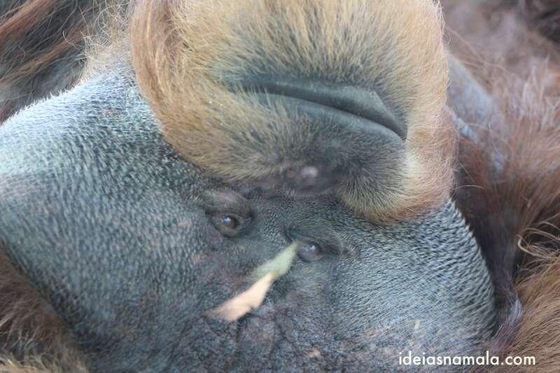 Chimpanzé - zoo de San Diego