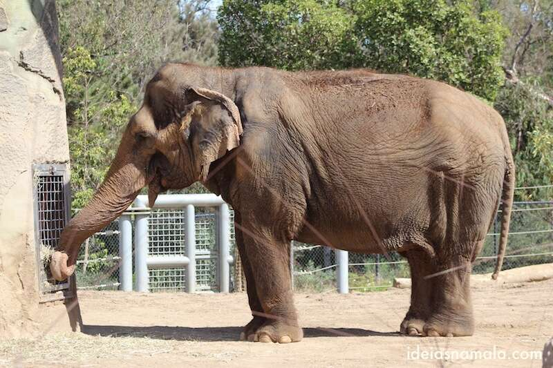 Elefante - Zoológico de San Diego