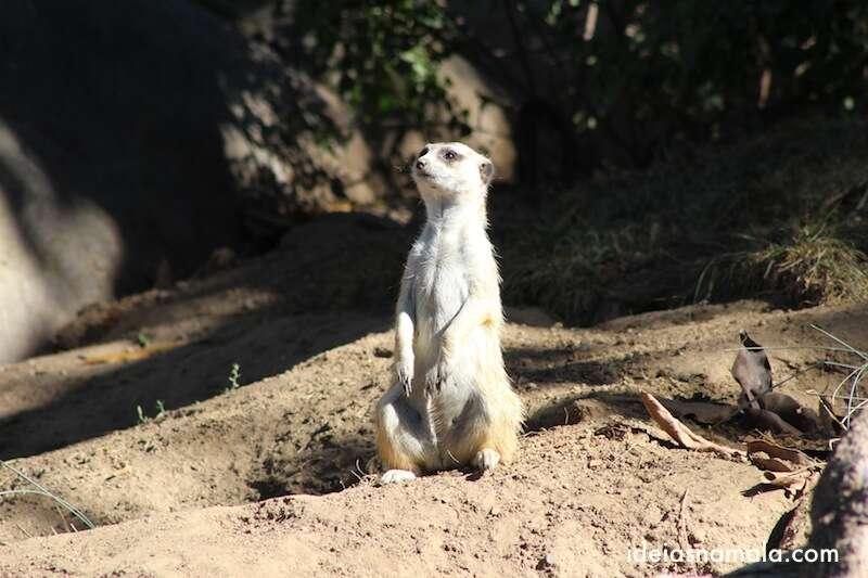 Suricato - Zoológico de San Diego