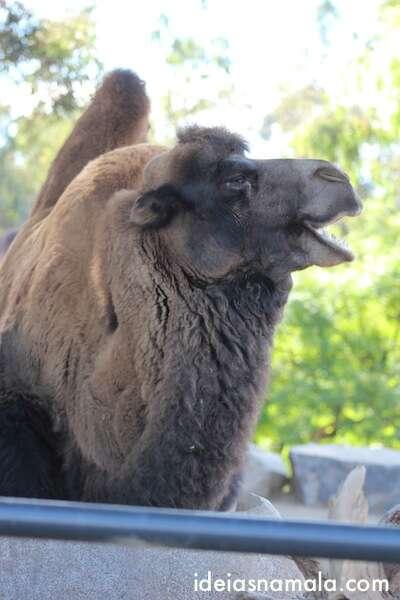 Camelo - Zoológico de San Diego