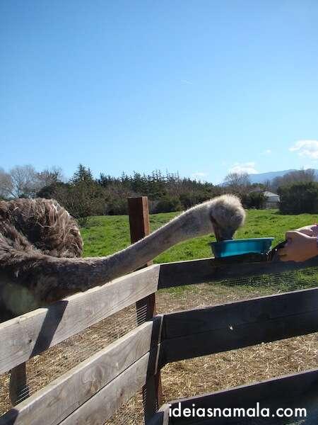 avestruz papando tudo