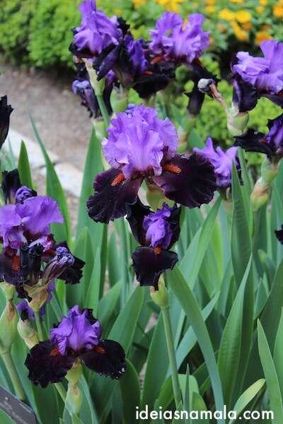 íris no Jardim Botânico Real de Madri