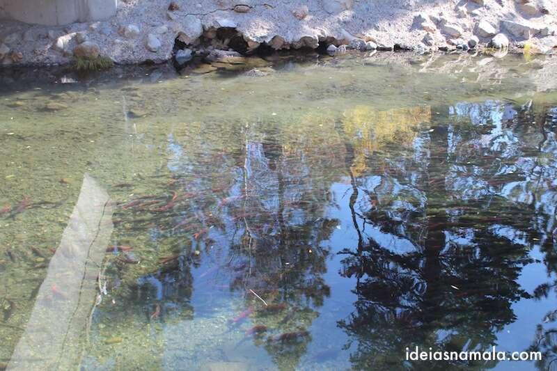 Desova Salmão Kokanee em Taylor Creek