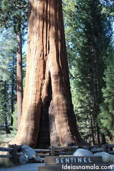 Arvore no Sequoias National Park