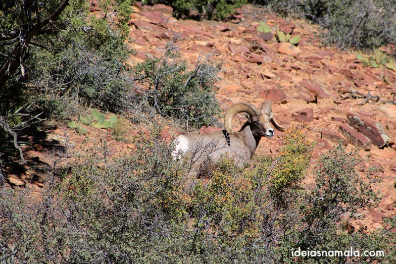Bighorn sheep no Zion
