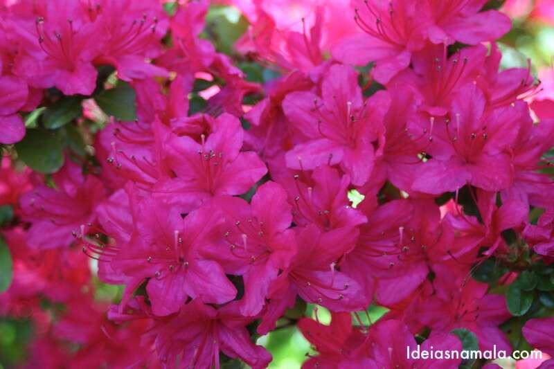 Flores do Jardim Japonês - Golden Gate Park