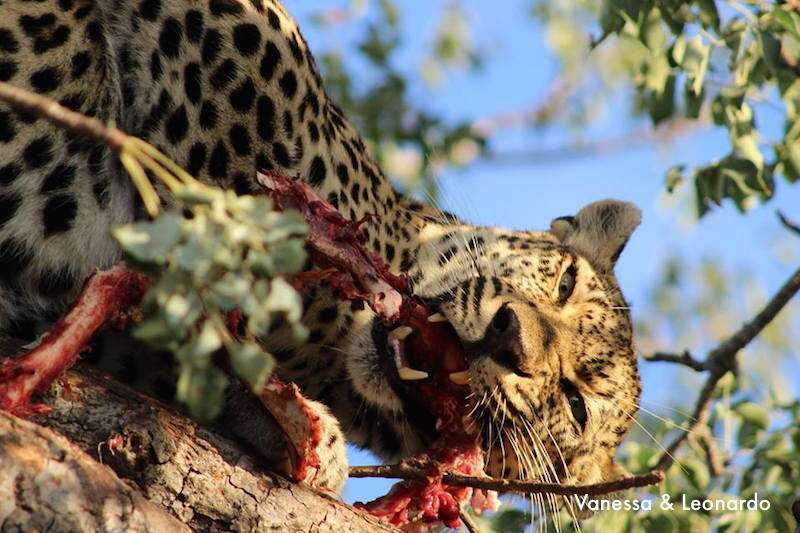 Kruger: Leopardo devorando sua caça