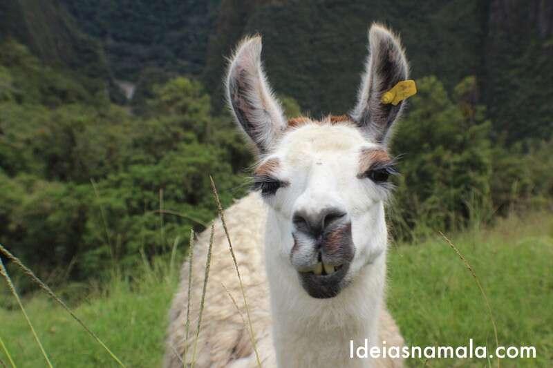 Llamas - Machu Picchu