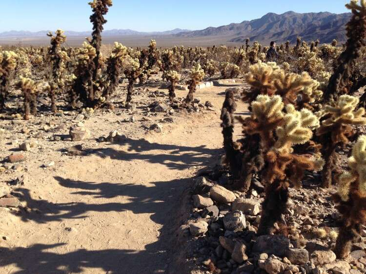 Chollas - Joshua Tree National Park