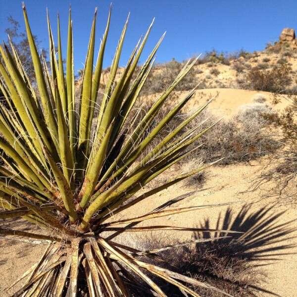 Yucca: Joshua Tree Park