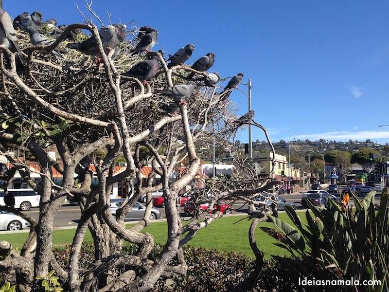 Arvore de pombos Laguna Beach