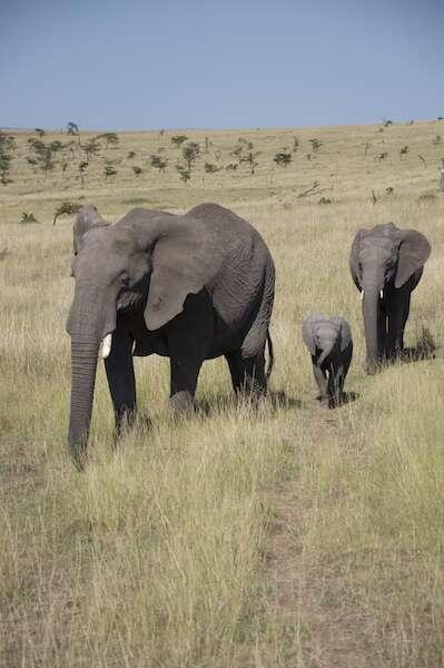 Elefantes Mara