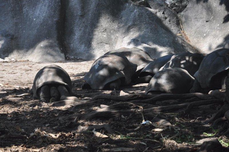 Tartarugas gigantes La Digue