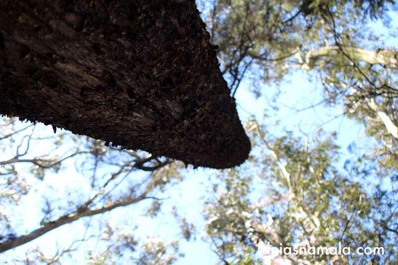 Bosque de Eucaliptos - San Francisco