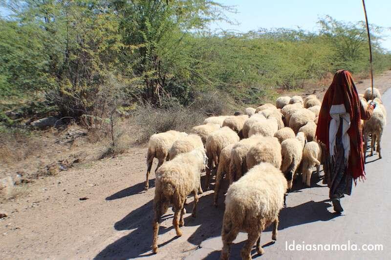 Índia - Pastora e ovelhas