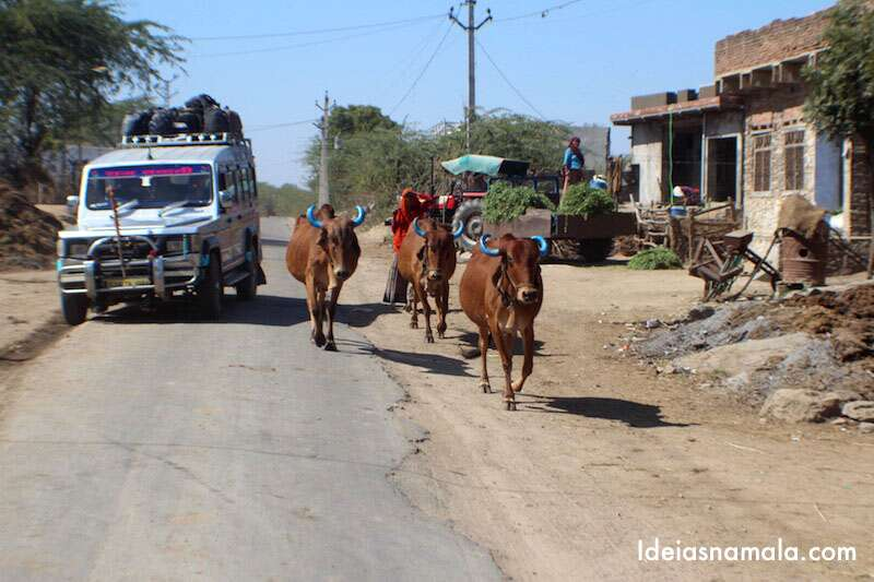 Índia: vacas de chifre azul