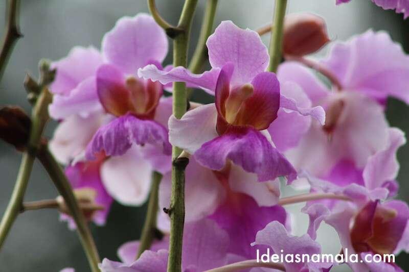 Flor nacional de Cingapura