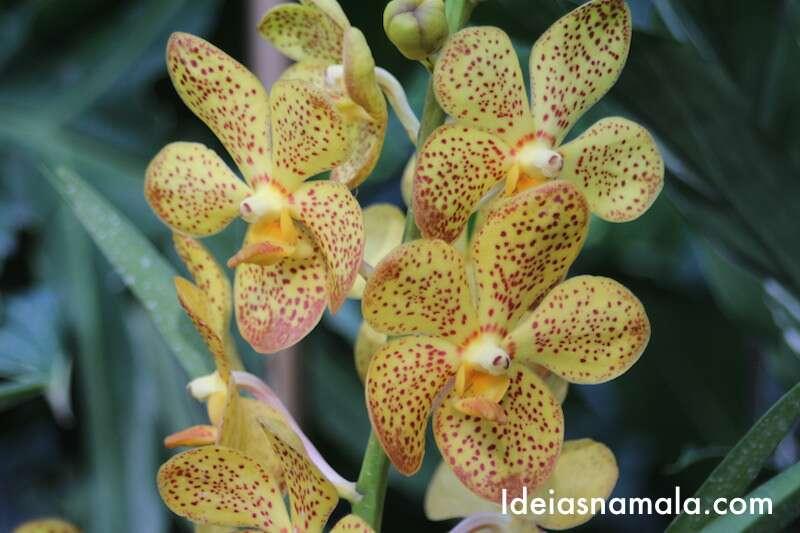 Orquídea amarelada - Jardim Botânico de Cingapura