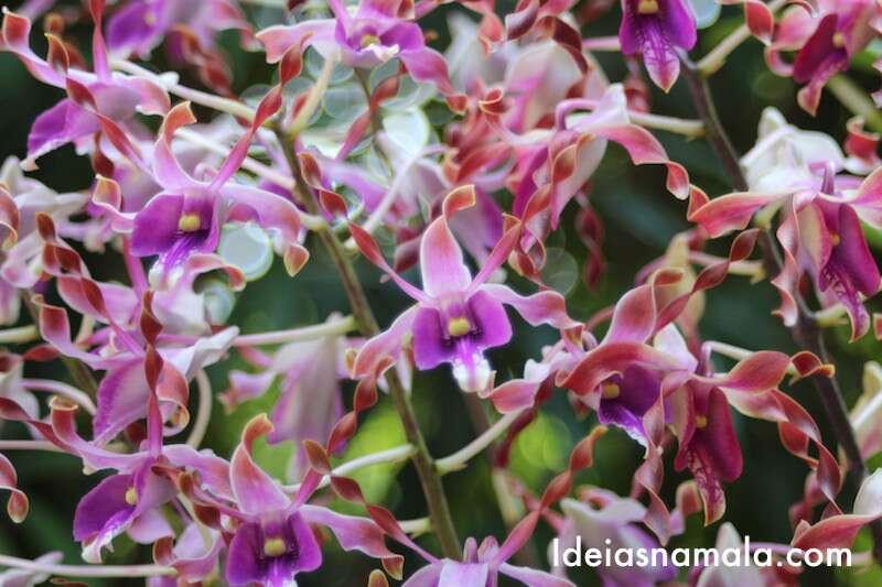 Orquídea rosa - Jardim Botânico de Cingapura