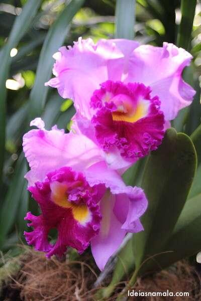 Orquídea gigante - Jardim Botânico de Cingapura