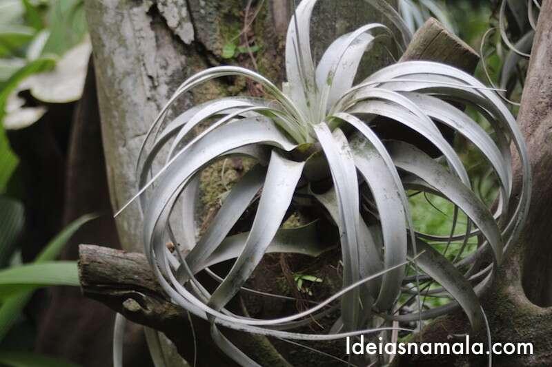 Bromélia no Jardim Botânico de Cingapura
