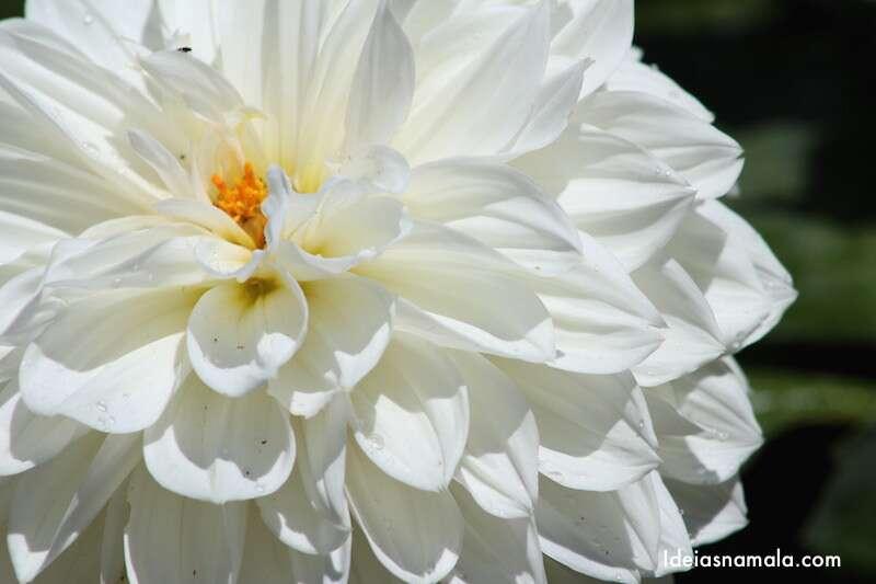 Dália no Jardim Botânico de Mendocino - Califórnia