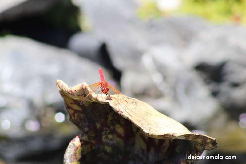Libélula - no Jardim Botânico de Mendocino - Califórnia