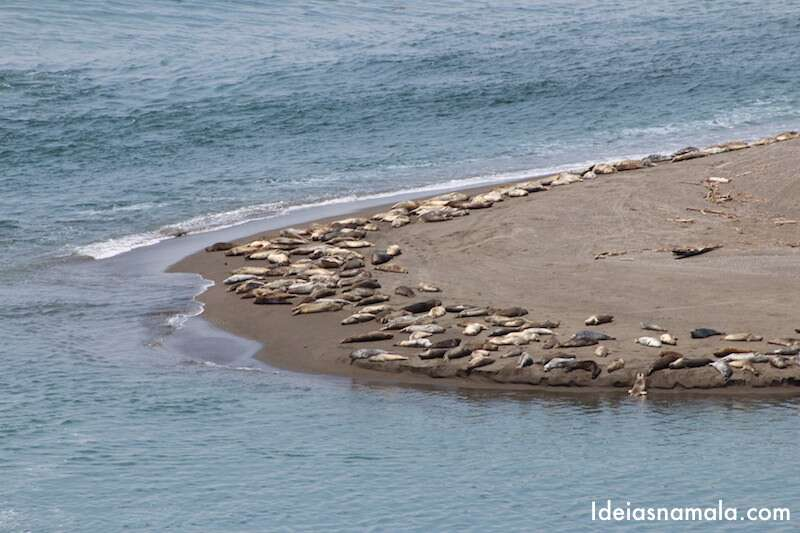Leões marinhos em Jenner