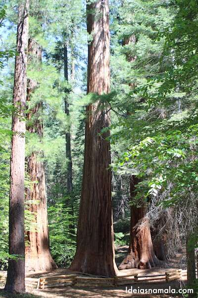 Sequoia Gigante - Merced Grove no Yosemite Park