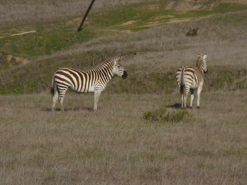 Zebras do Hearst Castle
