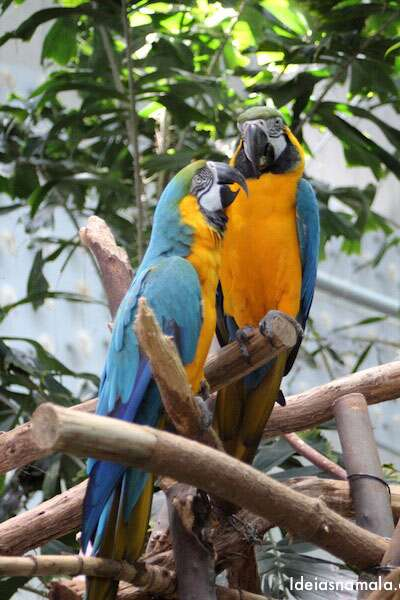 Arara - California Academy of Science