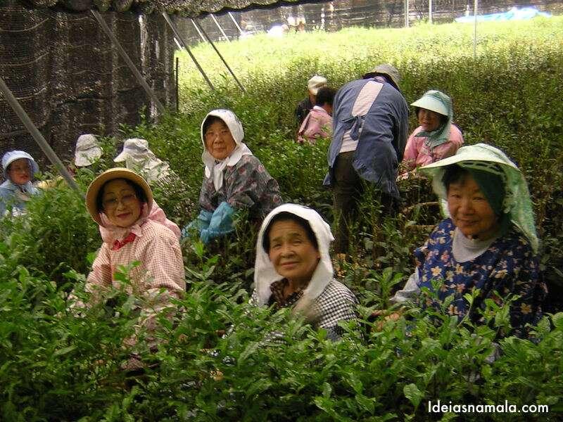 Colheita de chá no Japão