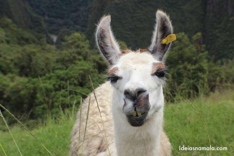 Llama no Machu Picchu